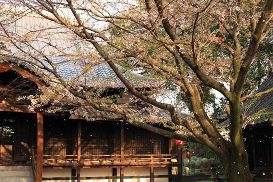 無量寿院 八女 桜