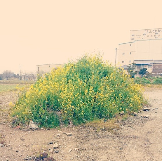 菜の花の山