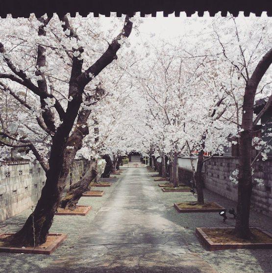 無量寺院 桜