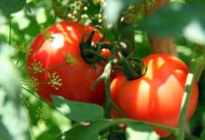 トマト収穫 裏庭農園