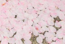 散りはじめの桜。