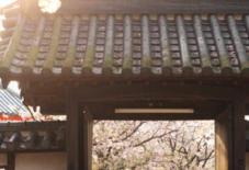 今日も桜通信。久留米絣の布展最終日。