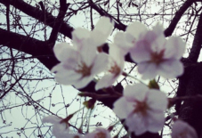 【日々のこと】桜展、今日まで。