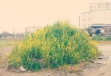 【暮らし】菜の花の山