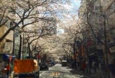 【東京新川分室】分室まで続く桜並木