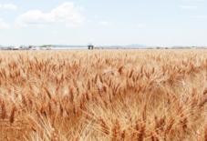 麦畑と、月1でん一農場。