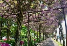 【地域のこと/観光協会】八女は隠れた藤の名所。上を見上げながら歩こう。/ Yame Rediscovery vol.4